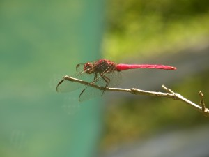 Libellule rouge. Tartane Martinique